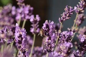 lavender-203412_640