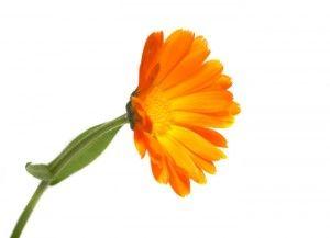 Plante medicinale Calendula