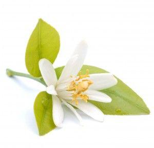 huile de Néroli plante médicinale cosmétique naturel