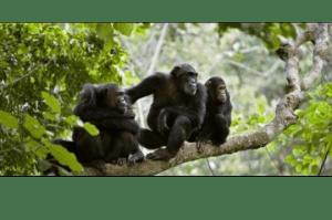 Chimpanzées plantes